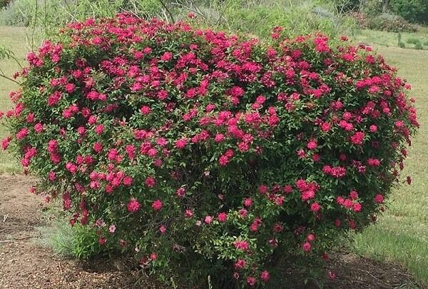 خرید گل رز مینیاتوری؛ مناسب کاشت در باغچه و گلدان