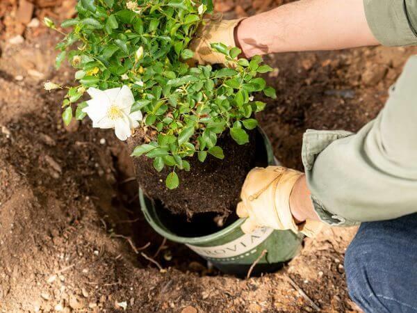 راهنمای خرید گل رز مینیاتوری