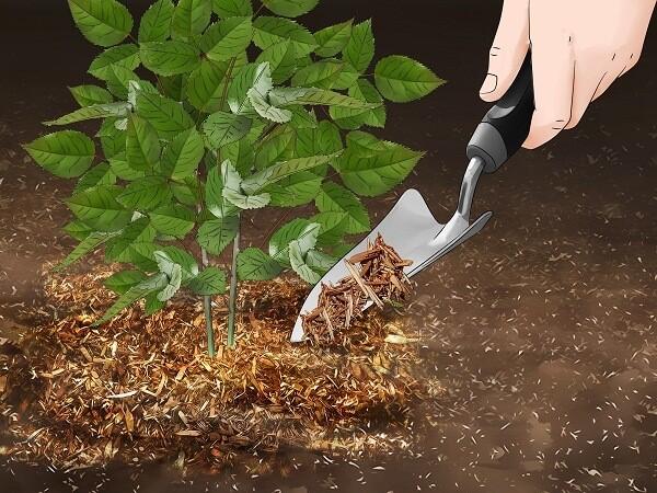 نحوه کاشت و پرورش رز مینیاتوری